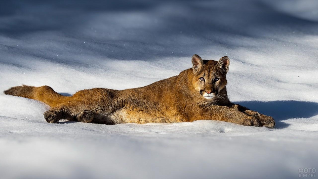 Дикий хищник лежит на снегу