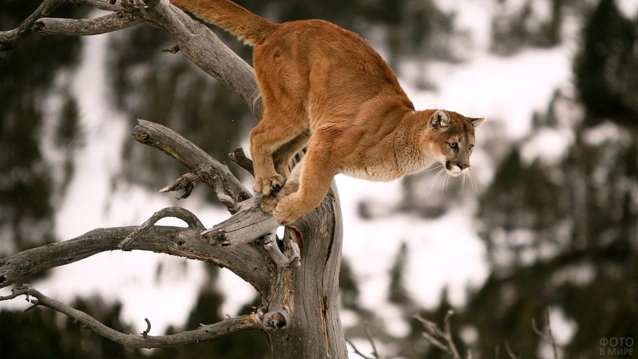 Хищная кошка готовится прыгнуть с дерева