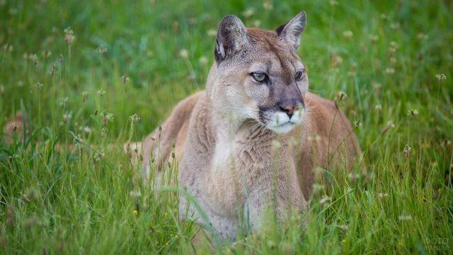 Хищная кошка сидит в траве