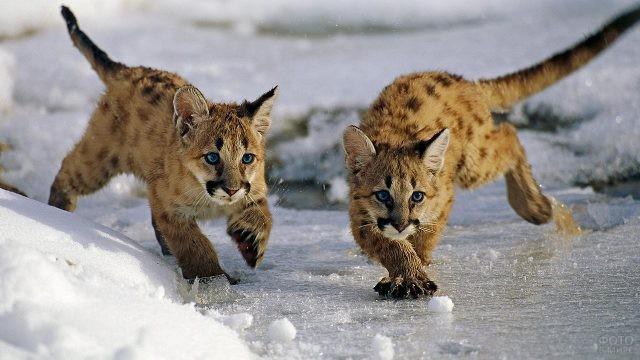 Котята пумы идут по льду
