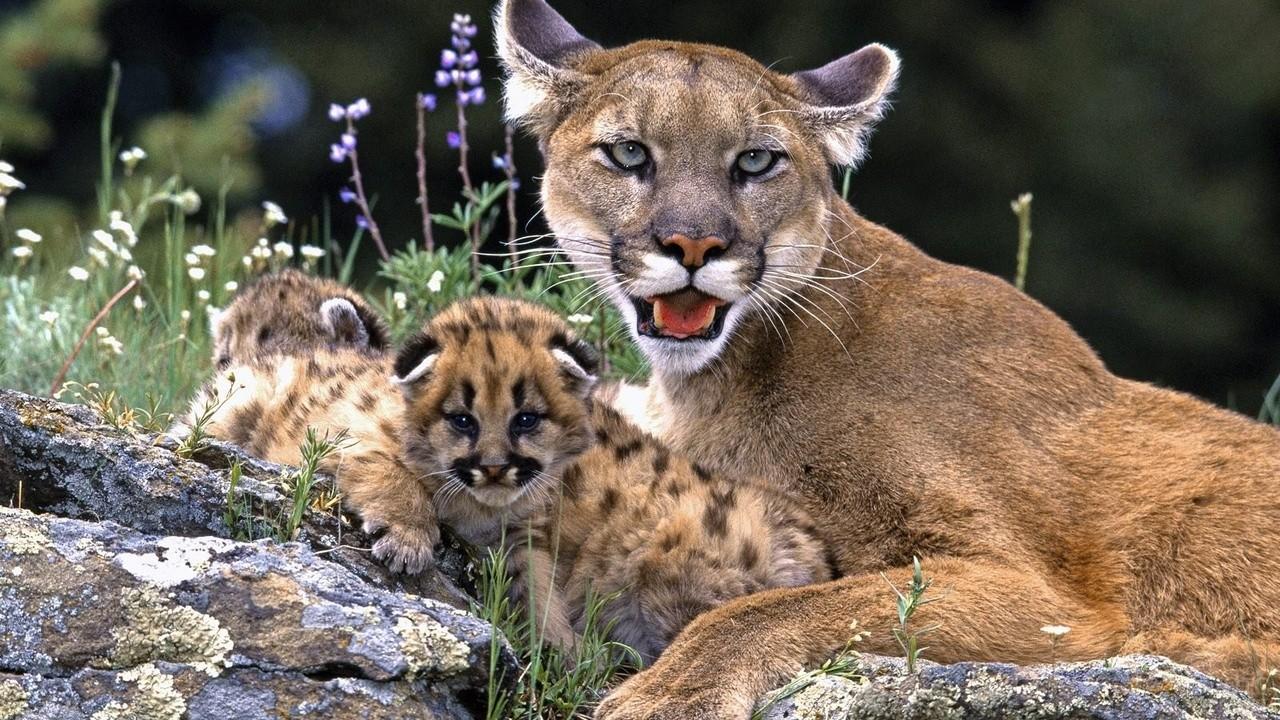 Мама пума лежит со своими детёнышами