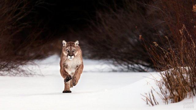 Представитель семейства кошачьих бежит по снегу