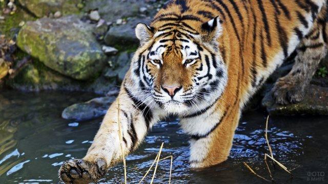 Амурский тигр заходит в воду