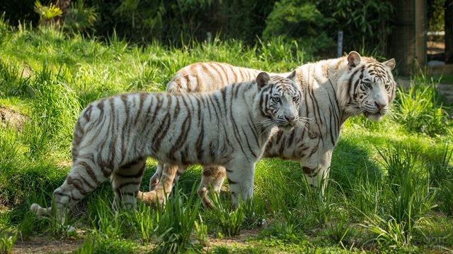 Белые тигры стоят на траве