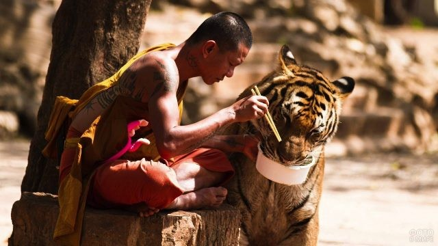 Человек кормит тигра
