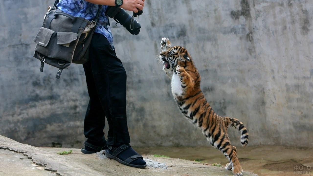Маленький тигрёнок стоит на задних лапах