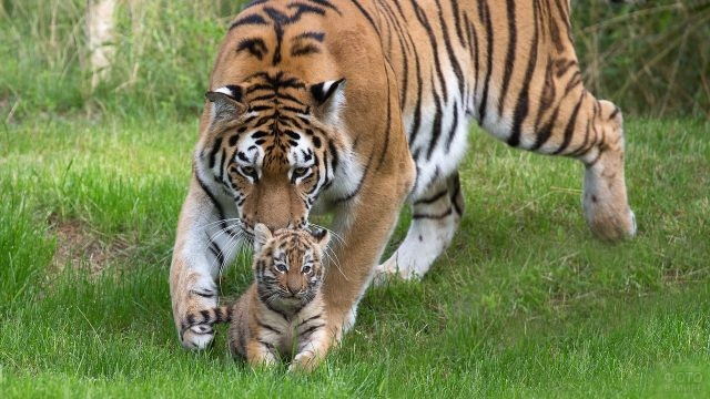 Мама-тигрица следит за малышом