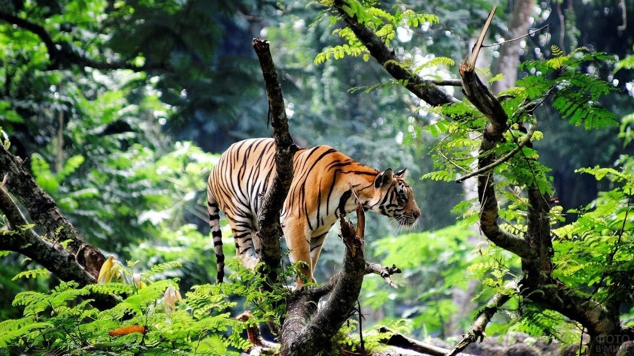 Молодая тигрица стоит на поваленном стволе
