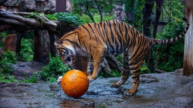 Молодой тигр играет с мячом