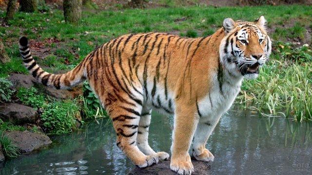 Молодой тигр стоит на камне посреди водоёма