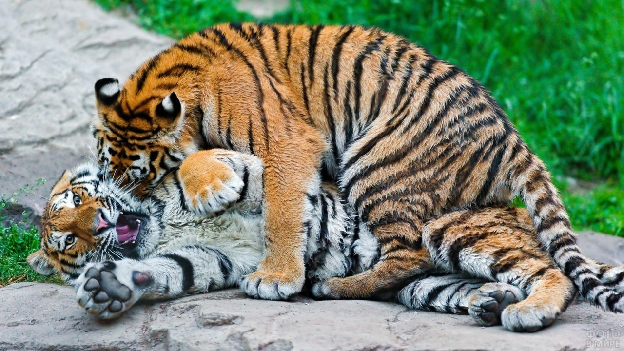 Молодой тигрёнок повалил другого тигрёнка