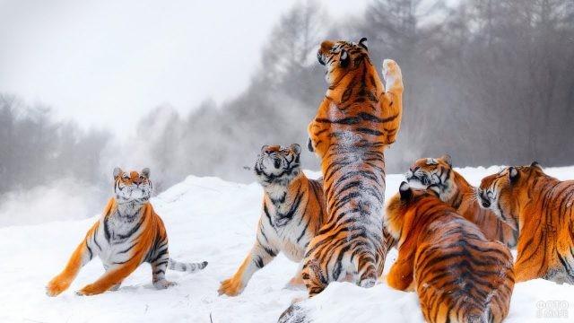 Молодые тигры играют на снегу