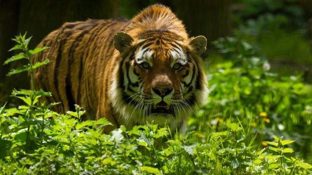 Полосатый хищник идёт по траве