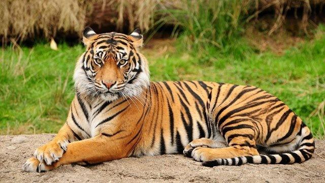 Полосатый тигр смотрит на камеру