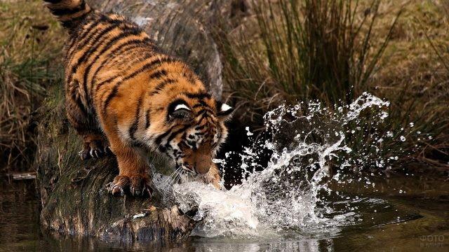Полосатый тигр вспенил воду