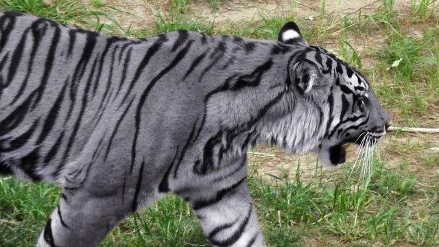Серый тигр идет по степи