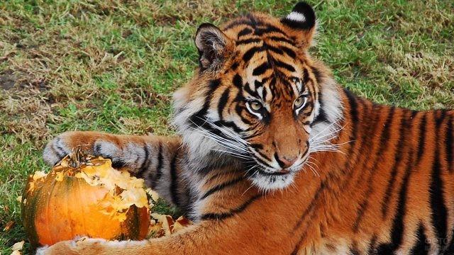 Тигр ест тыкву