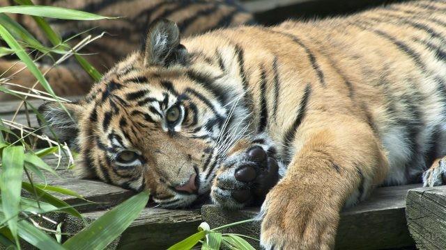 Тигр лежит на доске