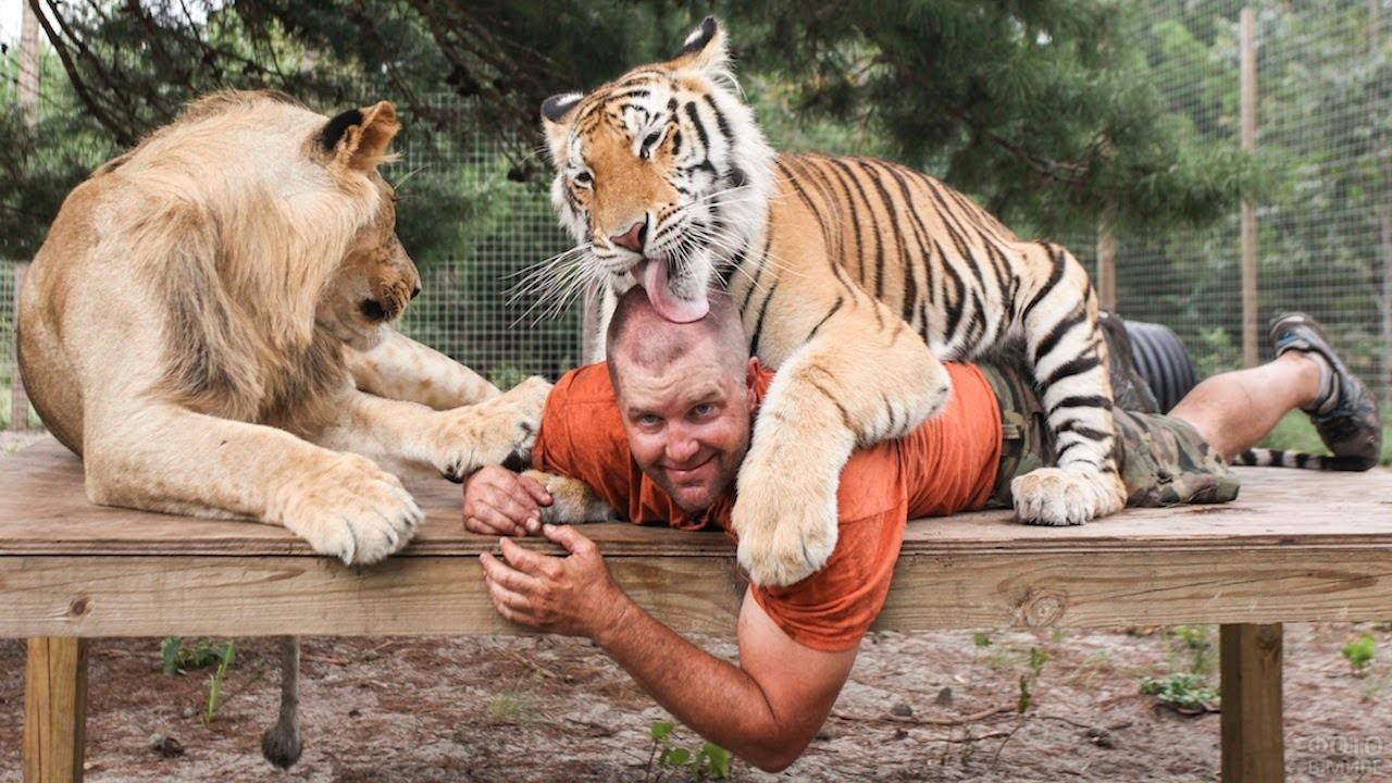 Тигр облизывает человека