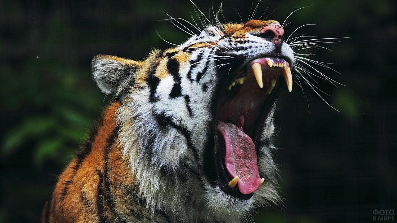 Тигр открыл пасть