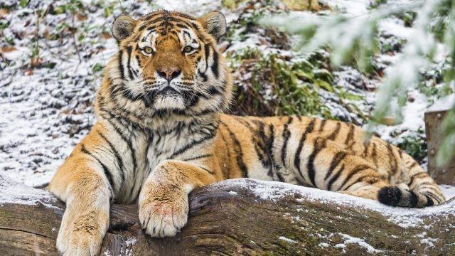 Тигр положил лапы на бревно