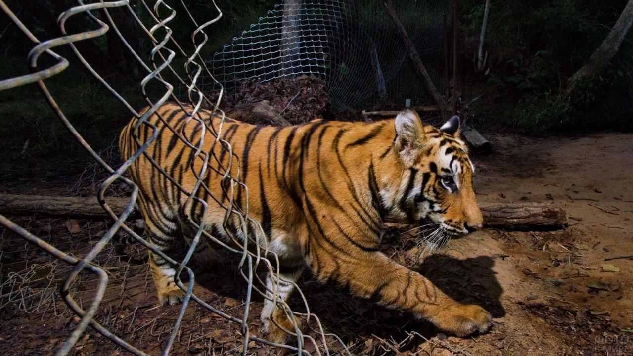 Тигр проходит через разорванную сетку
