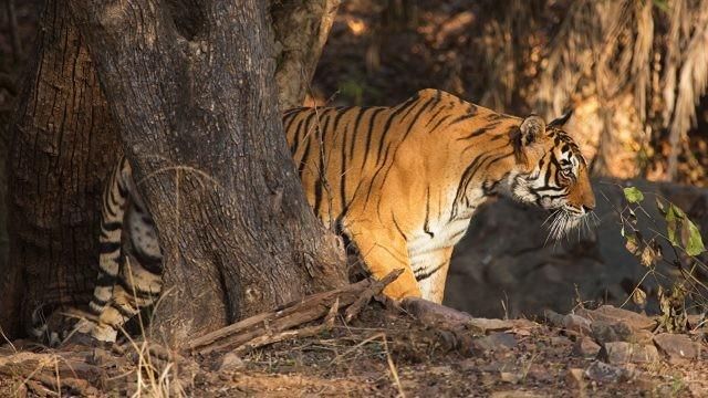 Тигр проходит среди деревьев