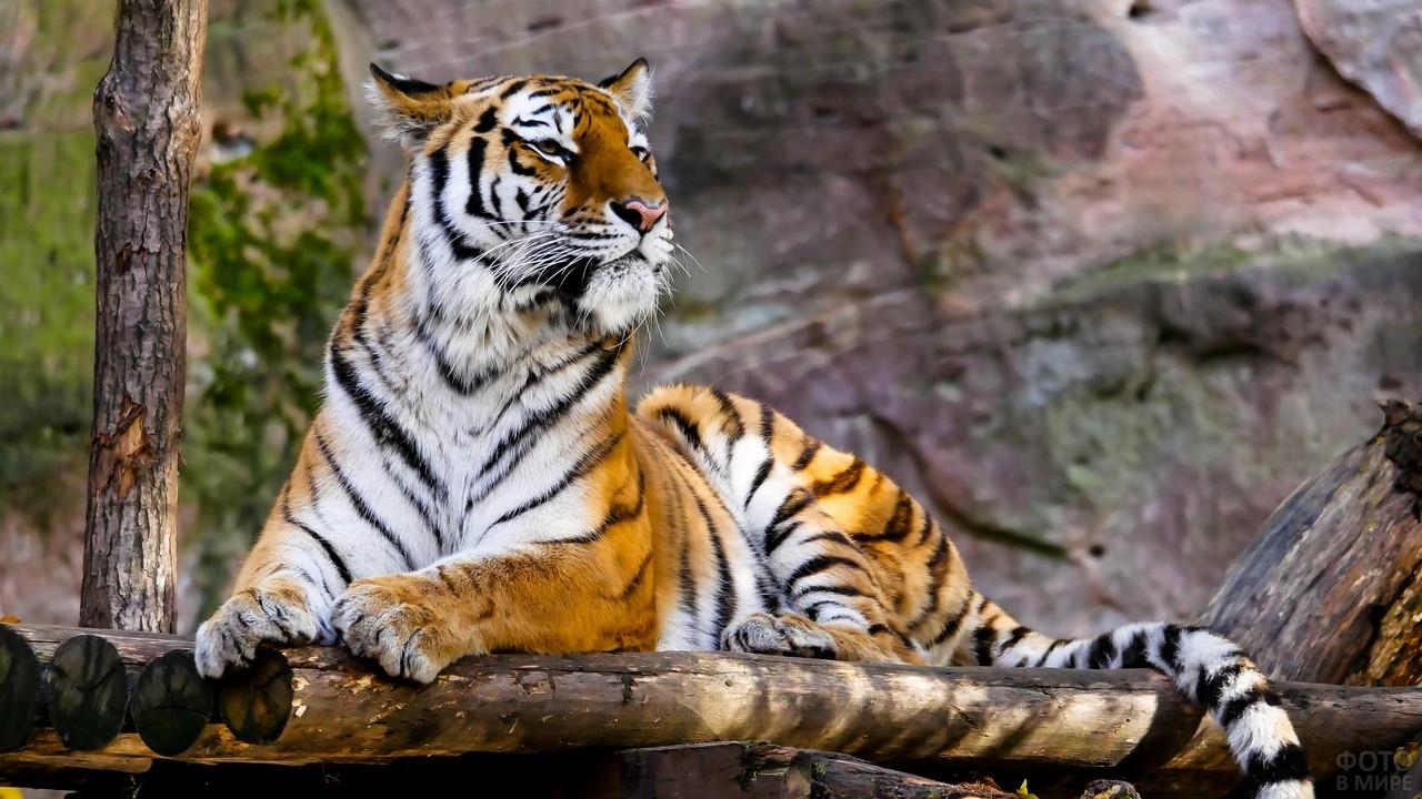 Тигр смотрит вдаль