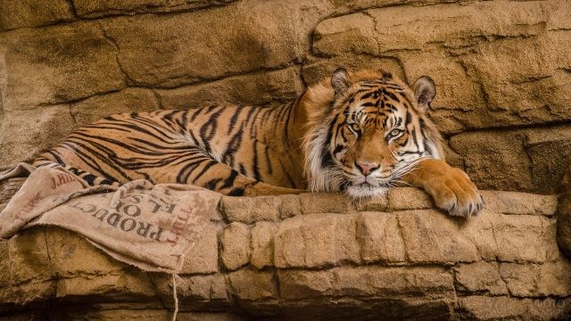 Тигр в каменистом ущелье