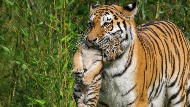 Тигрица несёт в зубах детёныша