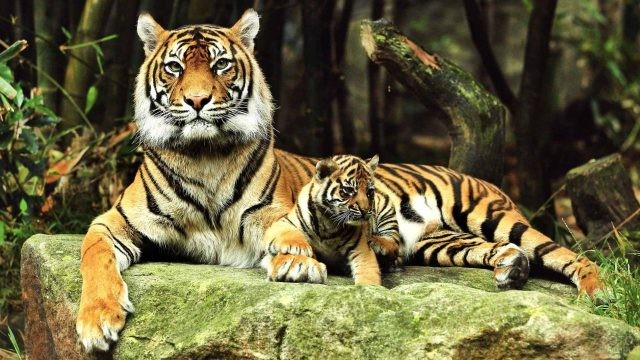 Тигрица с тигрёнком лежат на камне