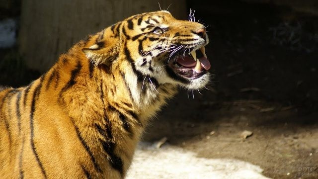 Тигрица скалит зубы