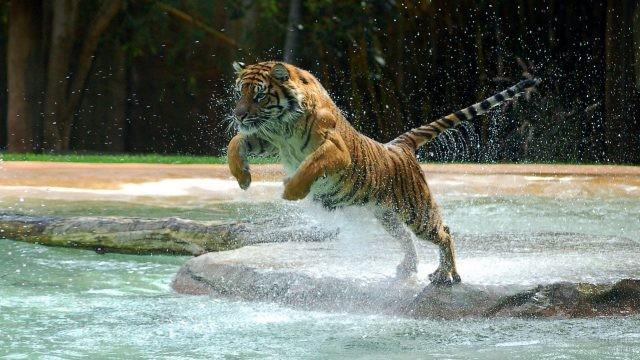 Тигрёнок готов к прыжку