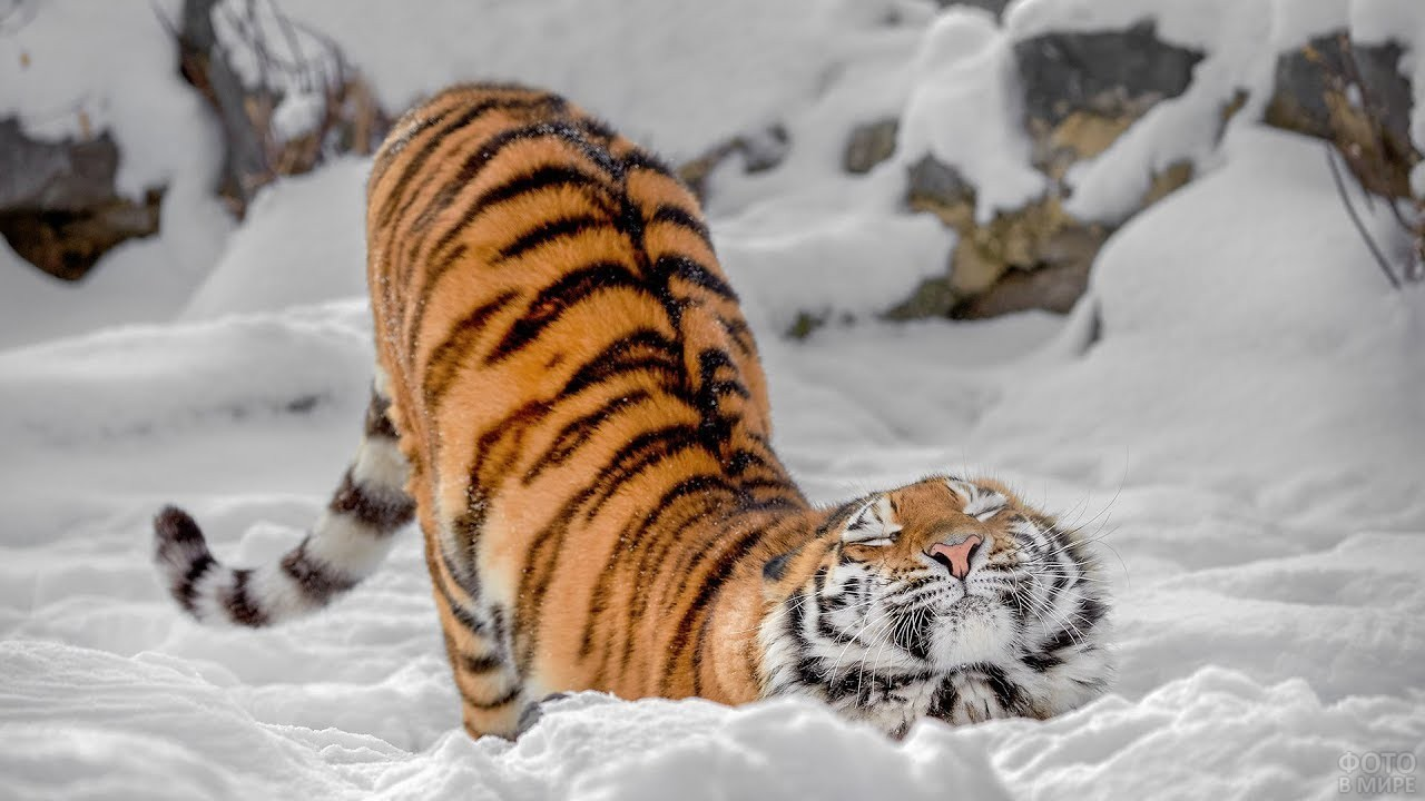 Тигрёнок положил голову на снег
