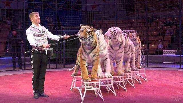 Тигры выступают в цирке