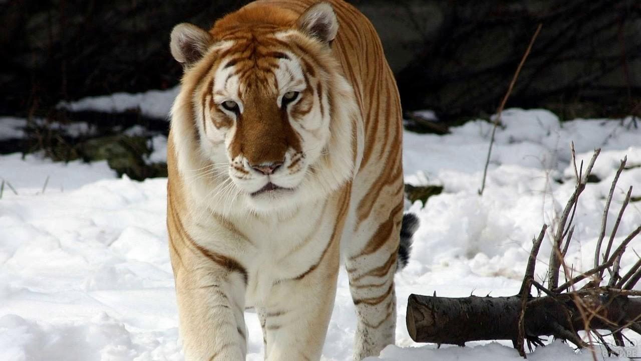 Золотой бенгальский тигр идёт по снегу
