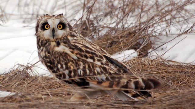 Болотная сова в зимнее время