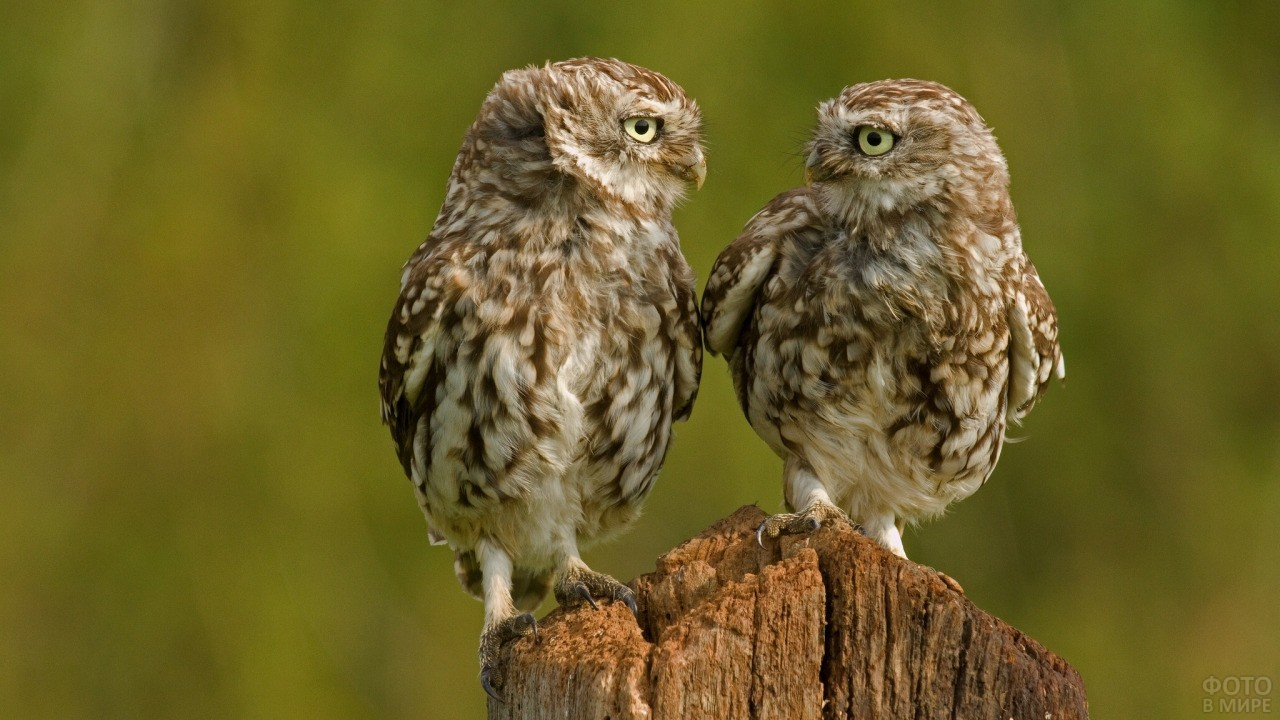 Два птенца совы смотрят друг на друга