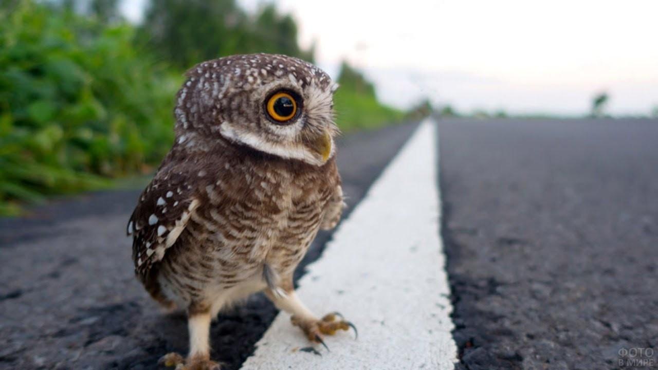 Птенчик совы шагает по дороге