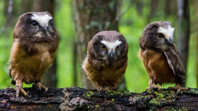 Птенцы совы сидят на коряге