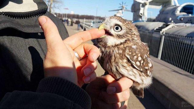 Птенец совы хватает за палец