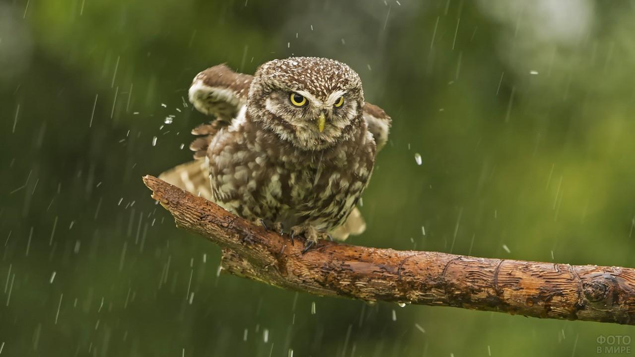 Совёнок мокнет под дождём