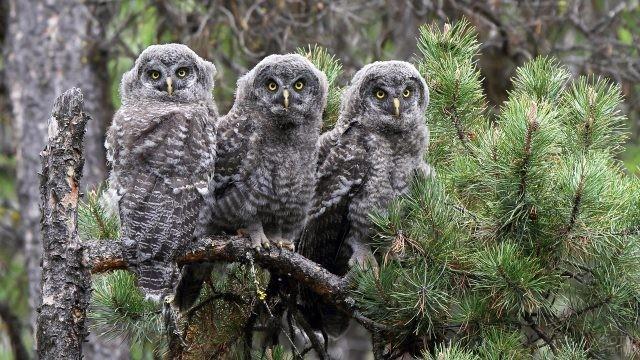 Три совы сидят на ветке ели