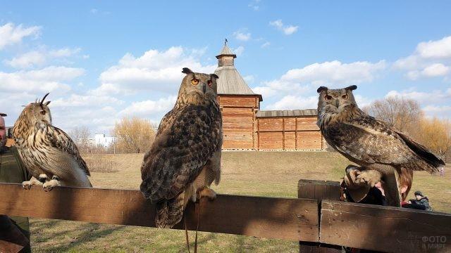 Ушастые совы сидят на заборе в парке