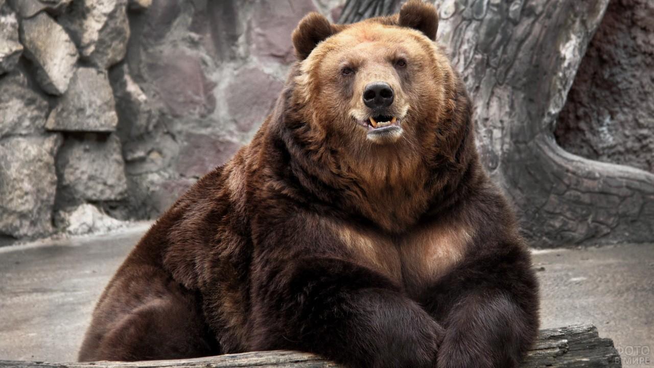 Бурый медведь показывает зубы