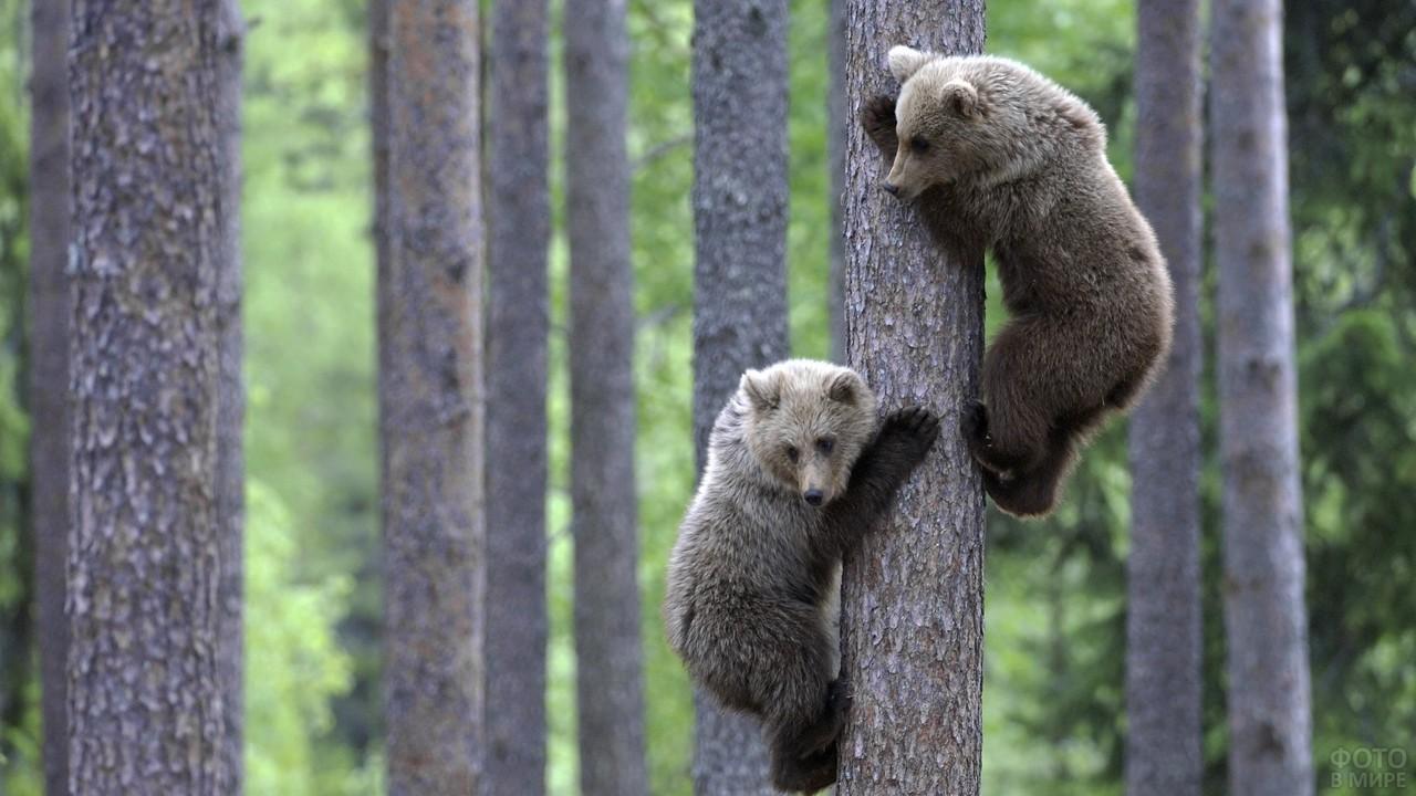 Два медвежонка лазают по дереву