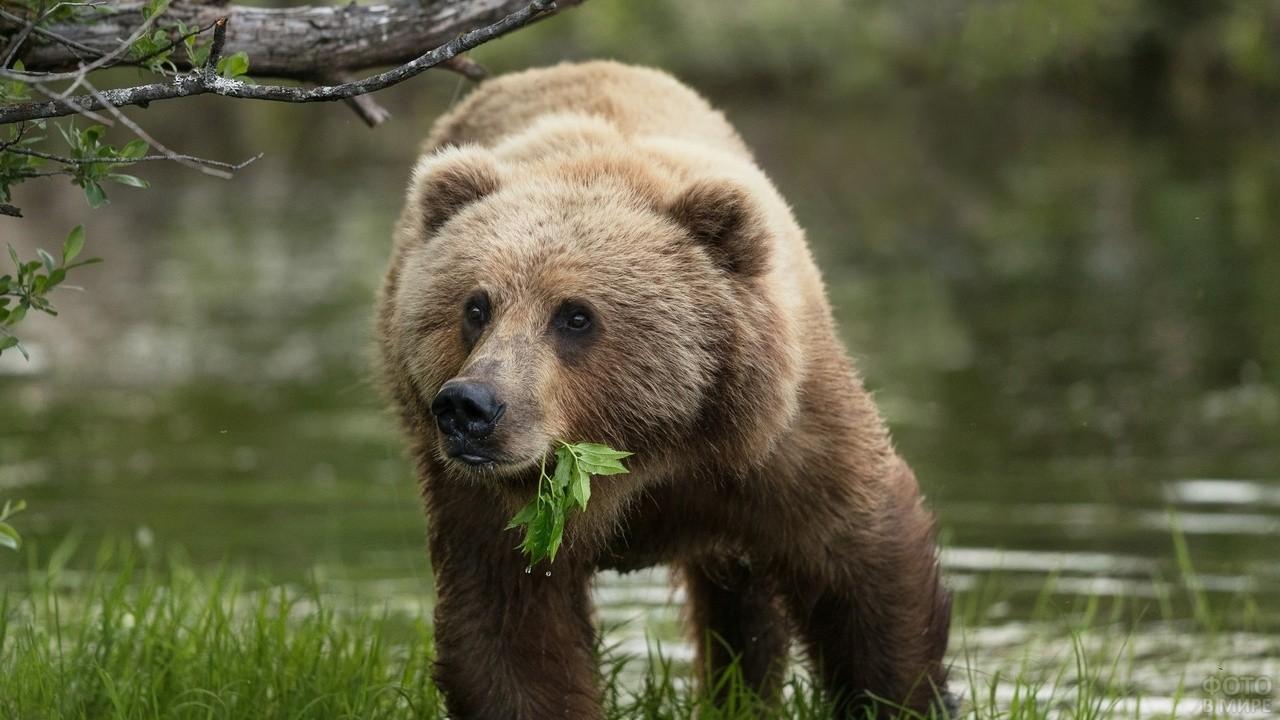 Медведь держит во рту листья