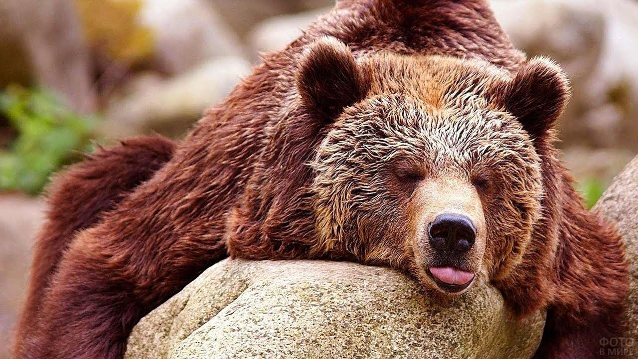 Медведь лежит на камне, высунув язык