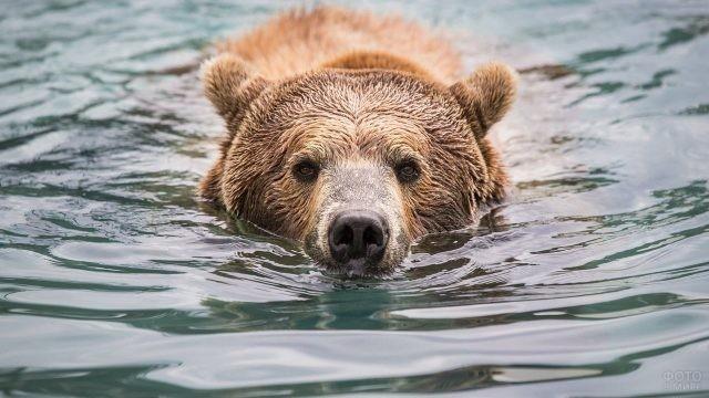 Медведь плывёт по реке