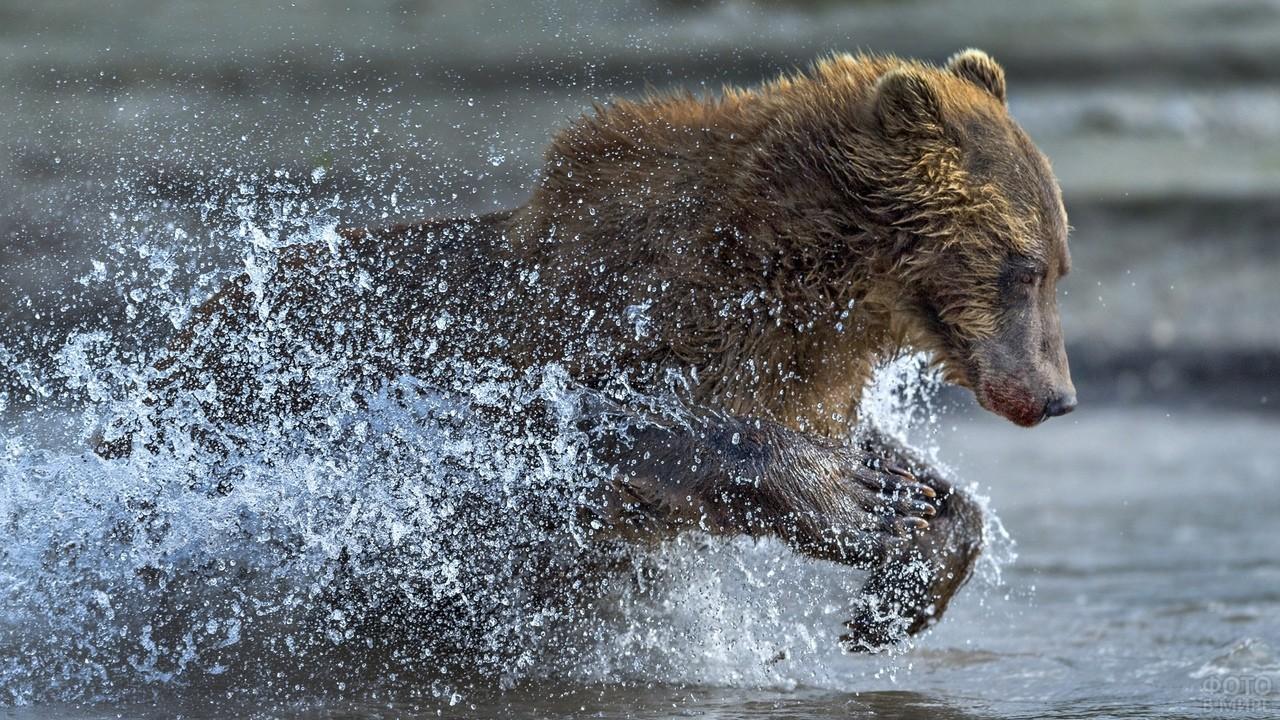 Медведь разбрызгивает воду